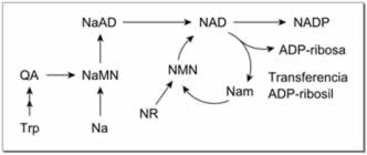 Metabolismo del NAD