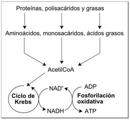 Metabolismo redox